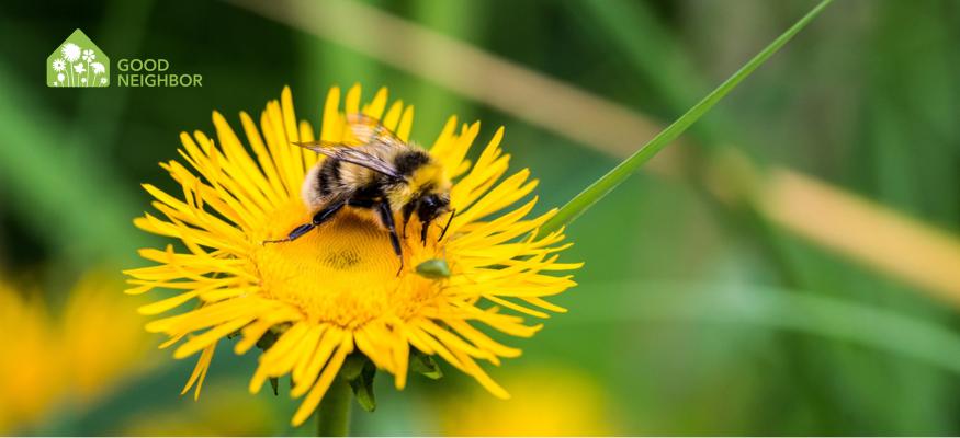 Bee sitting on dandelion