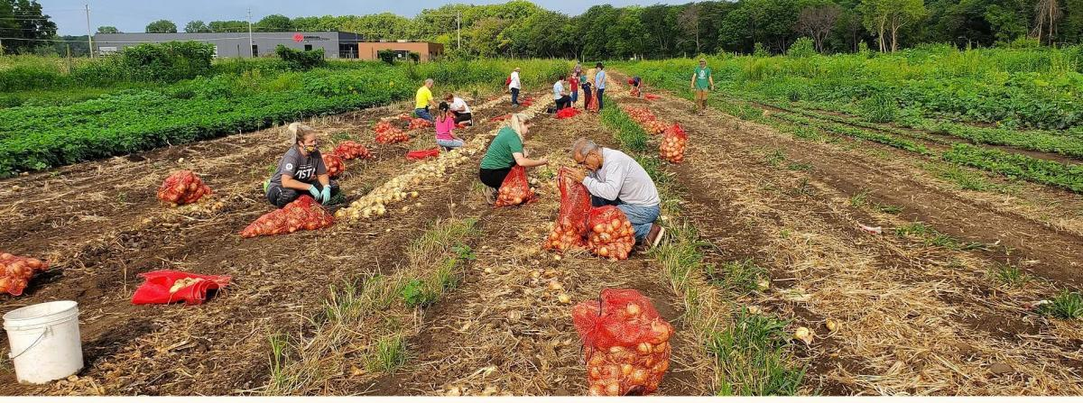 Volunteers harvest onions at a local farm